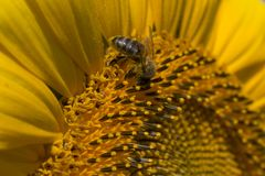 Sunflower with bee. Sunflower with a bee collecting pollen close up Royalty Free Stock Photos