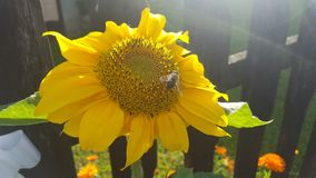 Sunflower and bee. In countryside Royalty Free Stock Image