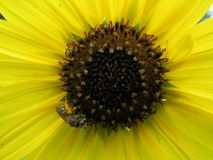 Sunflower & Bee. Dainty Summer Sunflower and Bee Royalty Free Stock Photos