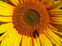 Sunflower with bee. Detail of sunflower with bee Stock Images