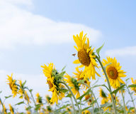 Sunflower and bee. Bee feeding on a field of sunflowers in summer Stock Image