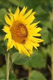 Sunflower with a bee in a field Royalty Free Stock Photo