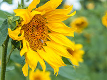 Sunflower and bee on it in field Royalty Free Stock Photo