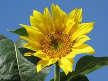 Sunflower and bee Stock Photos