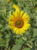 Sunflower and bee. Flowering sunflower in the field and bee on them, vertical shot Stock Images