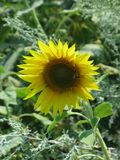 Sunflower and bee. Flowering sunflower in the field and bee on them, vertical shot Royalty Free Stock Images