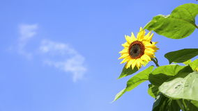 Sunflower with a bee in front of an blue sky stock video footage