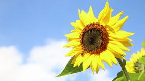 Sunflower with a bee in front of an blue sky stock video