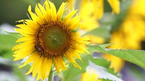Sunflower with bee stock video footage