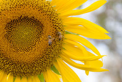 Sunflower and bee in garden Stock Photography
