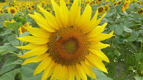 Sunflower. With bee in good details Royalty Free Stock Images