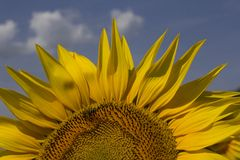 Sunflower with bee. A sunflower half with a bee against the blue sky Stock Photography