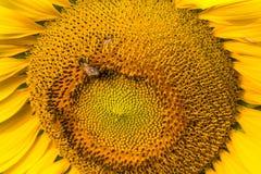 Sunflower and bee in happiness. Garden in Nakhon Phanom, Thailan Stock Photo