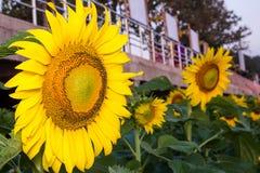 Sunflower and bee in happiness. Garden in Nakhon Phanom, Thailan Stock Photos