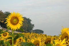 Sunflower and bee in happiness. Garden in Nakhon Phanom, Thailan Royalty Free Stock Image