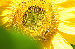 Sunflower with bee. Sunflower with honey bee pollinating the flower Royalty Free Stock Photos