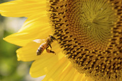 Sunflower Bee Stock Photography