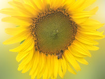 Sunflower with bee insect Stock Photo