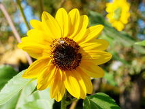 A sunflower with the bee. A little  bee on the big sunflower as a symbol of optimismus Royalty Free Stock Image