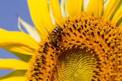 Sunflower. And bee with macro lens Stock Photography