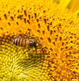 Sunflower. And bee with macro lens Stock Photo