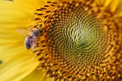 Sunflower bee Stock Image