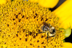 Sunflower with bee Stock Photos