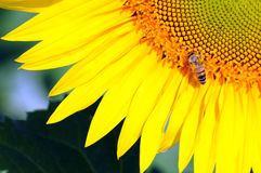 Sunflower and bee. Sunflower with bee natural summer background Royalty Free Stock Photos