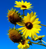 Sunflower with bee Royalty Free Stock Image