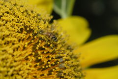 Sunflower Bee Perspective. Perspective of a bee on a sunflower Royalty Free Stock Images