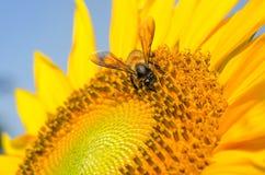 Sunflower & Bee Stock Image
