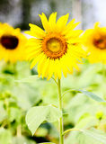 Sunflower. Bee with sunflower in ratchaburi thailand Royalty Free Stock Photo