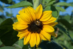 Sunflower with bee. A bee sits in a sunflower Stock Photos