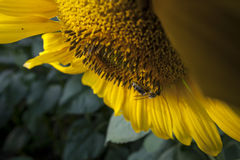 The Sunflower & The Bee. On this summer day this bee was very busy at work stock image