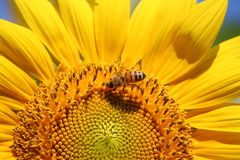 Sunflower & Bee Royalty Free Stock Photography