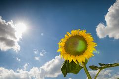 Sunflower with bee. The sun`s rays pierce the sunflower against the clouds and the blue summer sky Royalty Free Stock Image