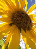Sunflower and bee. Taking a picture of a sunflower a bee showed up. Taken at Quito Ecuador Royalty Free Stock Photos