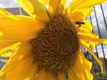 Sunflower and bee. Taking a picture of a sunflower a bee showed up. Taken at Quito Ecuador Stock Photography