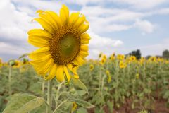 Sunflower and the bee. Sunflower with bee under the nice blue sky Stock Image