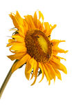 Sunflower and bee. On white background Stock Images