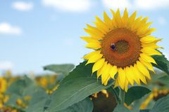 Sunflower & bee Royalty Free Stock Photo