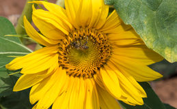 Sunflower with bee, Royalty Free Stock Image