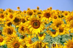 Sunflower. With bee in yellow field Royalty Free Stock Photo