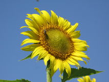 Sunflower and bee. Yellow flower of a sunflower against a blue summer cloudless sky and bee on them Royalty Free Stock Images