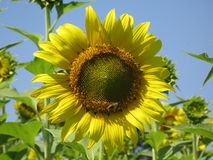 Sunflower and bee. Yellow flower of a sunflower in the field and bee on them Royalty Free Stock Images