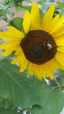 Sunflower with bee Royalty Free Stock Images