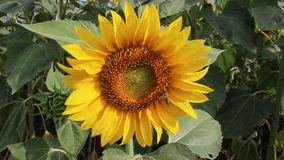 Sunflower been. Image was shot in Bulgaria in a great location combined with mountain and beautiful valley stock video