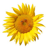 Sunflower with Bees Stock Image