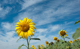Sunflower and bees Royalty Free Stock Image
