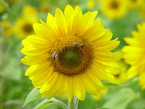 Sunflower with bees. Sunflower in full bloom with two bees Royalty Free Stock Image